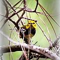 Warbler - Black-throated Green Warbler by Travis Truelove