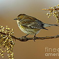 Yellow Rumped Warbler by Robert Frederick