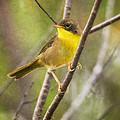 Warbler In Sunlight by Susan Capuano