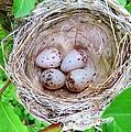 Warbler Nest by Art Dingo