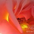 Warm Glow Pink Rose 2 by Tara  Shalton