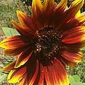 Warm Sun Flower by William Hallett