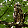 Warm Young Great Horned Owl by Cheryl Baxter