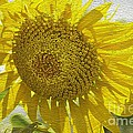 Warmth Upon My Back - Sunflower by Maria Urso
