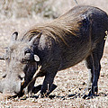 Warthog Digging by Pravine Chester