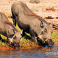 Warthog Family by Carolyn Jarvis