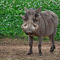 Warthog Stance by Photos By  Cassandra