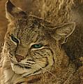 Wary Bobcat by Penny Lisowski