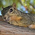 Wary Squirrel by Allen Sheffield