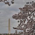 Washington Monument - Cherry Blossoms - Washington Dc - 011319 by DC Photographer