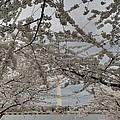 Washington Monument - Cherry Blossoms - Washington Dc - 011323 by DC Photographer