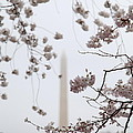 Washington Monument - Cherry Blossoms - Washington Dc - 011339 by DC Photographer