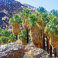 Washingtonian Fan Palm Grove Along Lower Palm Canyon Trail Near Palm Springs-california  by Ruth Hager