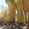 Washingtonian Fan Palms With Large Skirts In Andreas Canyon-ca by Ruth Hager