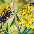 Wasp 2 by Steve Harrington