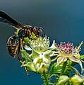 Wasp by Bob Orsillo