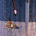 Wasp by Brent Dolliver