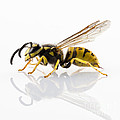Wasp Isolated  by Pablo Romero