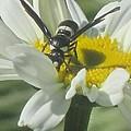 Wasp On Daisy by Marjorie Tietjen