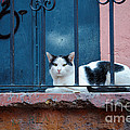 Watchful Cat, Mexico by John Shaw