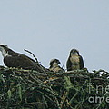 Mother Osprey Watchful Eye  by Neal Eslinger