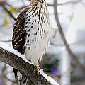 Watchful Eye Of A Hawk by Julie Palencia