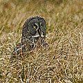 Watchful Eyes Of The Great Gray Owl by Inspired Nature Photography Fine Art Photography