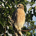 Watchful Eyes - Red Shouldered Hawk by Christiane Schulze Art And Photography