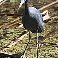 Watchful Little Blue Heron  by Christiane Schulze Art And Photography