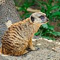 Watchful Meerkat Vertical by Jon Woodhams
