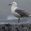 Watchful Seagull by Pat Lucas