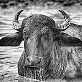Water Buffalo-black And White by Douglas Barnard