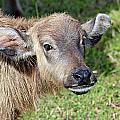 Water Buffalo Calf by Paul Fell