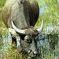 Water Buffalo by Rick Piper Photography