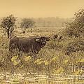 Water Buffaloes At Corroboree Billabong V2 by Douglas Barnard