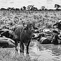 Water Buffaloes-black And White by Douglas Barnard