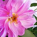 Water Color Dahlia by Cynthia Syracuse