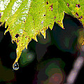 Water Droplet On Leaf by Greg Thiemeyer