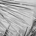 water droplets from mountain mist running down pine needles on conifer trees on El Teide mountain Tenerife Canary Islands Spain by Joe Fox