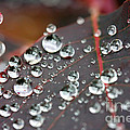 Water Drops On Cotinus by Simon Bratt Photography LRPS