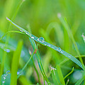 Water Drops On The  Grass 0029 by Terrence Downing