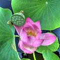 Water Flower by Jim Shackett