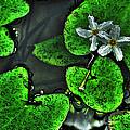 Water Flowers by Shannon Scott