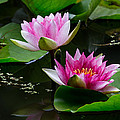 Water Garden Delight by Dale Kincaid