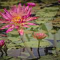 Water Garden Dream by Penny Lisowski