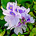 Water Hyacinth On Rapti River In Chitwan Np-nepal by Ruth Hager