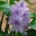 Water Hyacinth by Robert Floyd