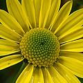 Water Kissed Yellow Chrysanthemum  by Nicki Bennett
