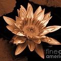Water Lilies 012 by Robert ONeil
