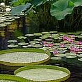 Water Lilies And Platters And Lotus Leaves by Byron Varvarigos
